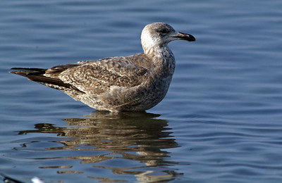 Herring Gull in South Padre Island