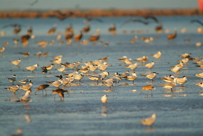 Terns, dowitchers and pelicans