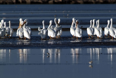 American White Pelicans on Bolivar Flats, Bolivar, TX