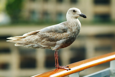Glaucous-winged Gull, 2nd winter plumage