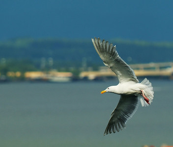 Herring Gull, adult breeding plumage.  Photo taken from ship in Vancouver, BC, Canada.