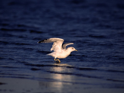Ring-billed Gull photographed in Bolivar beach