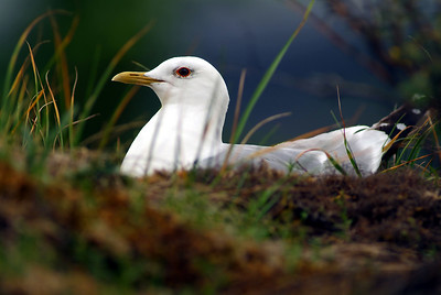 Mew Gull, adult breeding, on nest.  Photo taken in Denali, AK.