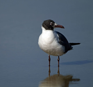Laughing Gull photographed at Rollover Pass, Texas