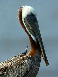 Brown Pelican, photo taken at Rollover Pass, TX