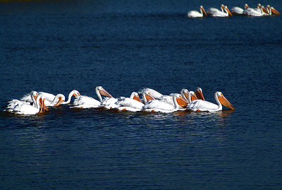 White Pelicans photographed in the San Jacinto Monument State Park.