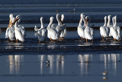 American White Pelicans on the Bolivar Peninsular