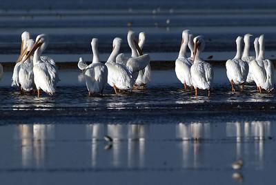 American White Pelicans on the Bolivar Peninsular