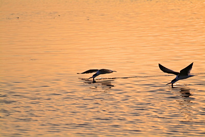Pair of Black Skimmers skimming