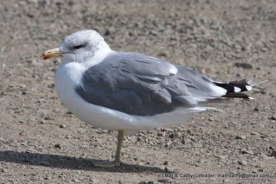 California Gull 4841