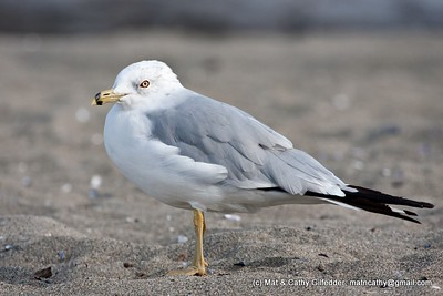 Ring-billed Gull 3335