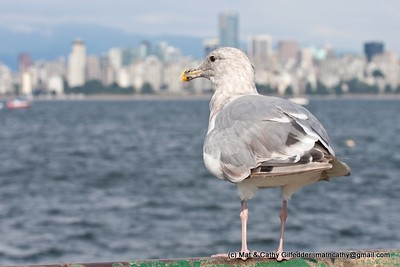 Glaucous-winged Gull 3326