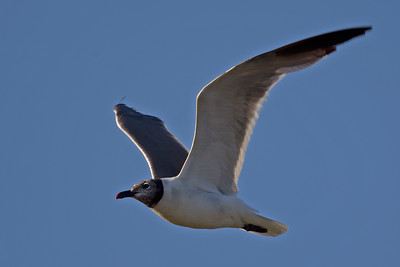 Laughing Gull 7964