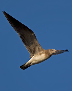 Laughing Gull 8001