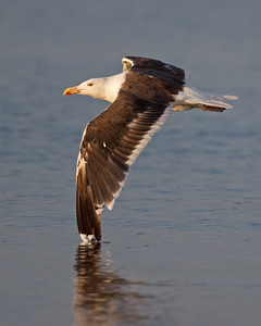 Great Black-backed Gull 8136