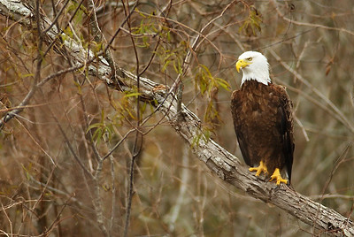 Bald eagle perched above Big Creek in Brazos Bend State Park