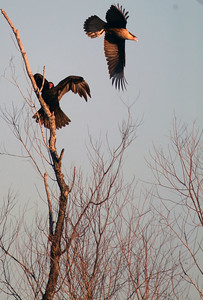 The Turkey Vulture forces the Crested Caracara from his perch.  Katy prairie