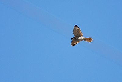 American Kestral in flight