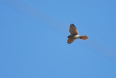 American Kestral in flight