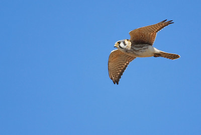 American Kestral in flight, Katy prairie