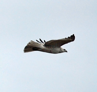 Krider's Red-tailed hawk or a white morphed Swainson's hawk photographed on Katy prairie