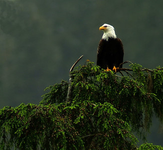 Bald Eagle  I took this photo in Ketchikan, Alaska.  There were more eagles in this port city than any of the other ports of call on our cruise.