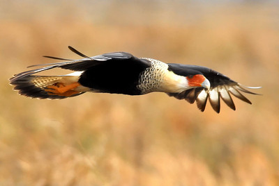 Crested Caracara in flight; Katy prairie
