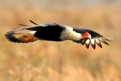 Crested Caracara in flight; Katy prairie