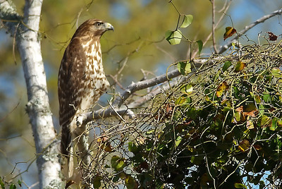 Hawks and Other Raptors of Texas
