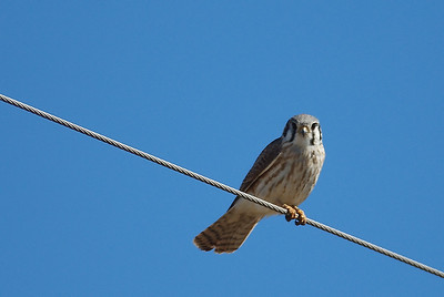 American Kestral on the wire; typical perch; these birds are hard to approach with a camera