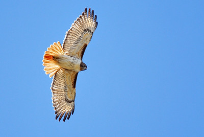 Red-tailed Hawk photographed in Bear Creek Park Note the prominent black leading edges of both wings and rufous tail which are the markers for the Red-tailed Hawk.