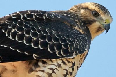 Swainson hawk in Memorial Park, Houston, TX