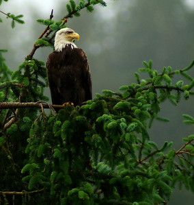 Bald Eagle, Ketchikan, AK