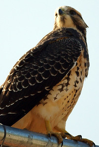 Swainson's hawk fence sitter