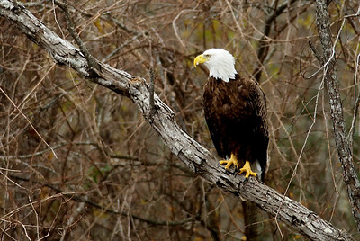 Bald Eagle in Bear Creek Park; note the white goose feather in his beak!  I wonder what he had for lunch?