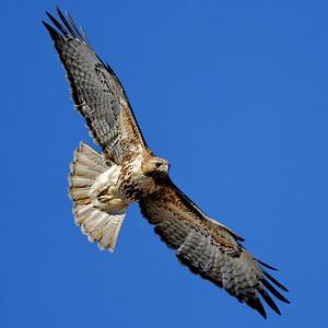 Red-tailed Hawk in flight - Katy prairie