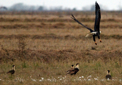 Bald eagle leaving a pile of goose feathers and being watched by four Crested caracaras