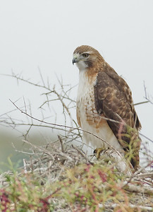 Red-tailed Hawk; Katy prairie, 1-2009