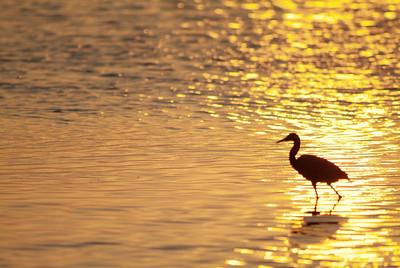 Tricolored Heron at sundown