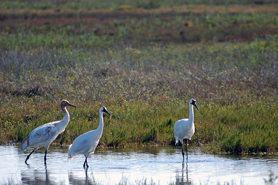 This is a family unit of Whooping Cranes.  There are two adults and one juvenile.  The adults are teaching the youngster to catch small Blue Crabs in the water near Aransas National Wildlife Refuge.