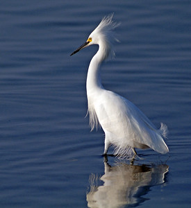 Snowy Egret photographed on South Padre Island
