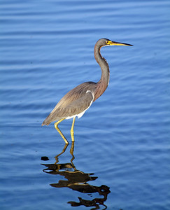 This Tricolored Heron was so busy catching his dinner he paid no attention as I aimed my 500mm lens at him.  This photo was taken on South Padre Island.