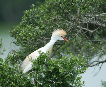 The Cattle Egret is often seen along the highway near grazing cows.  The cattle stirs up insects and small amphibians as they walk and the egrets are nearby ready to pounce on the prey.  They are not impressive color wize except during the breeding season.  This guy is in display at his nest on Heron Island at H.A.S. High Island sanctuary.