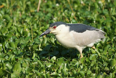 This Black-crowned Night-Heron was photographed at the Anahuac NWR.