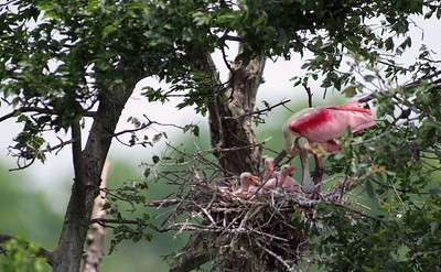 Many egrets, herons, cormorants and spoonbills nest on the Houston Audubon Society sanctuary on Heron Island in High Island, TX.  This Roseate Spoonbill is tending to her three chicks.