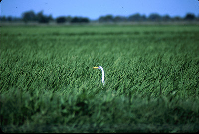 This Great Egret's head is all that is visible in a Katy prairie rice field.