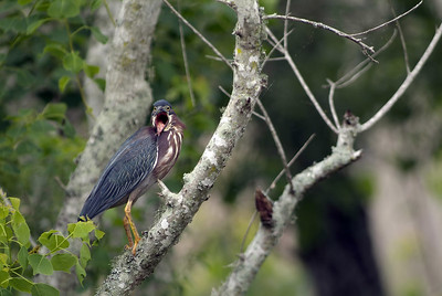 This Green Heron was photographed at Brazos Bend State Park.  He became very vocal at a grackle who got close to his nest.