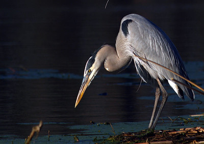Great Blue Heron / Brazos Bend State Park
