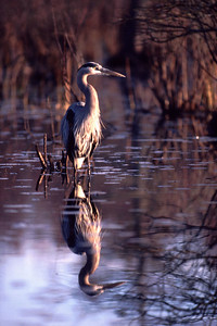 This Great Blue Heron was photographed from a blind on the Shledon Lake State Park, Harris County, TX.