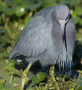Little Blue Heron at Brazos Bend State Park
